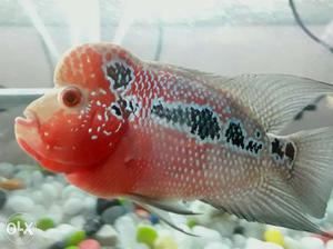 Healthy super red Flowerhorn fish with good hump.