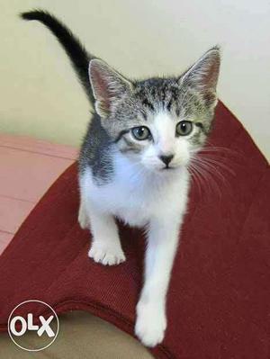 Looking to Buy indian breed kitten