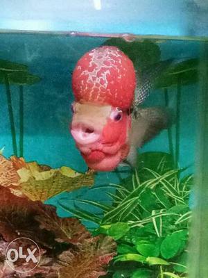 Pink Flowerhorn Fish (Male). Good Humpy Head...