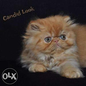 Awesome quality Persian kittens all ncr cash on delivery