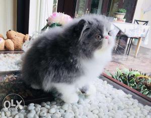 Grey persian kitten available in original price