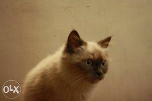Himalayan and Persian kittens available