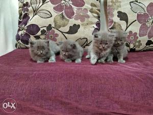 Persian cat available in Mumbai in all colors  each