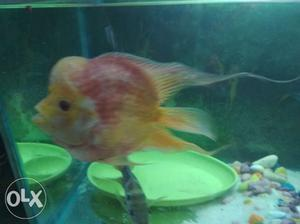 Short body albino flowerhorn fish male 8 months