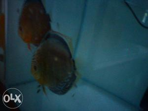 Discus Breeding set up for sale