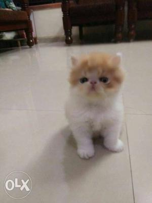 Pure breed kittens and cat for sale. in all