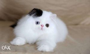 White persian kitten black spot on the ear