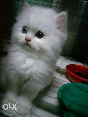 Blue eyes healthy traind cute baby persian cats kitten sale