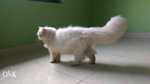 Full Panch face full white Persian cat female age
