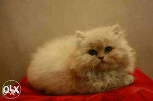 Long fur playfull healthy baby persian cats