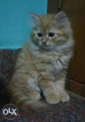 Orange and white Persian Kittens