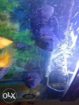 Two Oscar Black fishes. Cichlid group. Size- 6