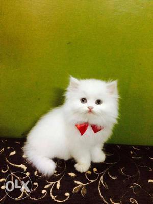Very playfull cute traind persian cats kitten