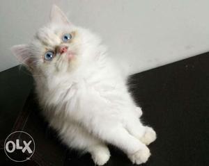 Best deal cute playfull persian cats kitten sale