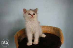 Furry persians kittens available in your town