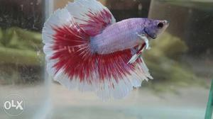 Imported Dumbo Ear Halfmoon betta fish for sale