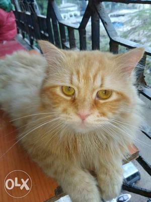 Persian male cat for Mating ONLY 2 years male