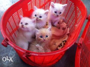 Playfull cute baby persian cats.kitten sale.baby
