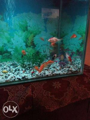 12 gold fishes, 2 koi carps, 2 shark and some