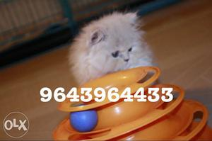 Intelligent and Alert Persian Kittens Available.