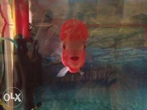 Flowerhorn fish with head and full coloration one