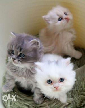 All Types of Persian Kittens available for Sale