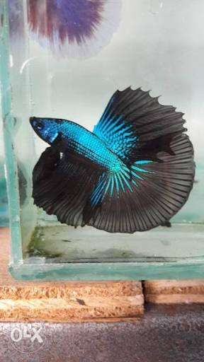 All type of Betta fish for sale on order for price