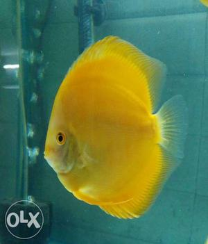 High quality yellow discuss fish for sale.