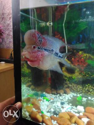 Pure thiland imported magma flowerhorn fish with