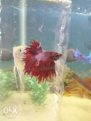Red crowntail betta fish for sale