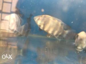 Tiger talapia for sale. call for more details.