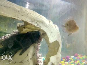 6 inch Algae eater pleco fish for sale