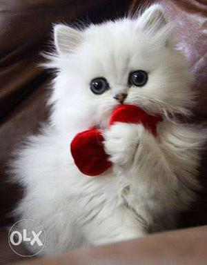 Cute little pure persian kittens available