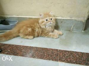 Persian kitten for sale...golden kitten