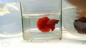 Red Half-moon imported Betta for Sale anyone