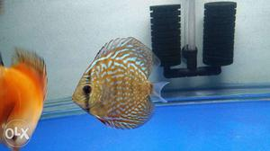 """3 pic hi fin discus for sell 1 pic 3"""" or 2 pic 4"""""""
