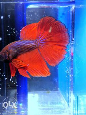 Full Moon Orange Betta With Purple Scale And Blue