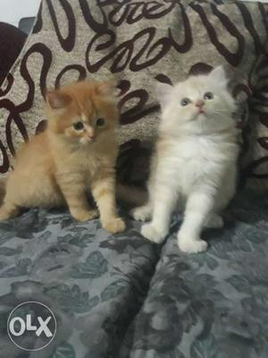 Persian Pure Kitten (45 Days Old)