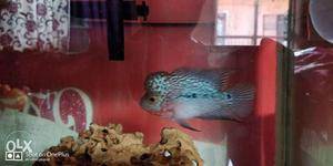 Top Quality flowerhorn fish. Big size  Small