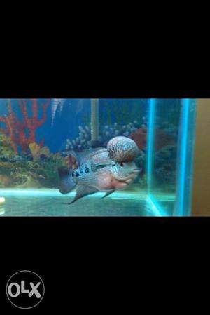 Flowerhorn fish with ball head kok for sale