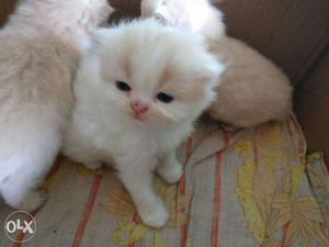 Persian kittens available in mumbai in reasonable Each