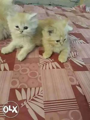 Very healthy and active persian kittens for