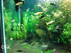Molly fish - black n yellow - low price - Rs 20 per pair