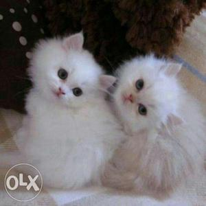 All Types Of Persian Kittens Available Here.