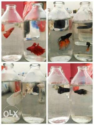 Imported Betta Fighterfish