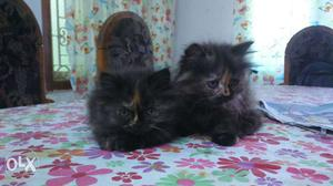 Persian cat very active and friendly