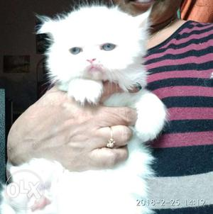Persian kittens white color male blue