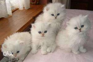 Pure White black grey persian kittens available