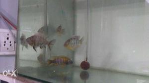 "Venustus and hybrid cichlids 4"" in size for sale"