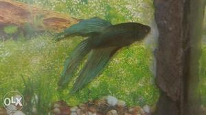 Blue colour male splendid betta fish for sale